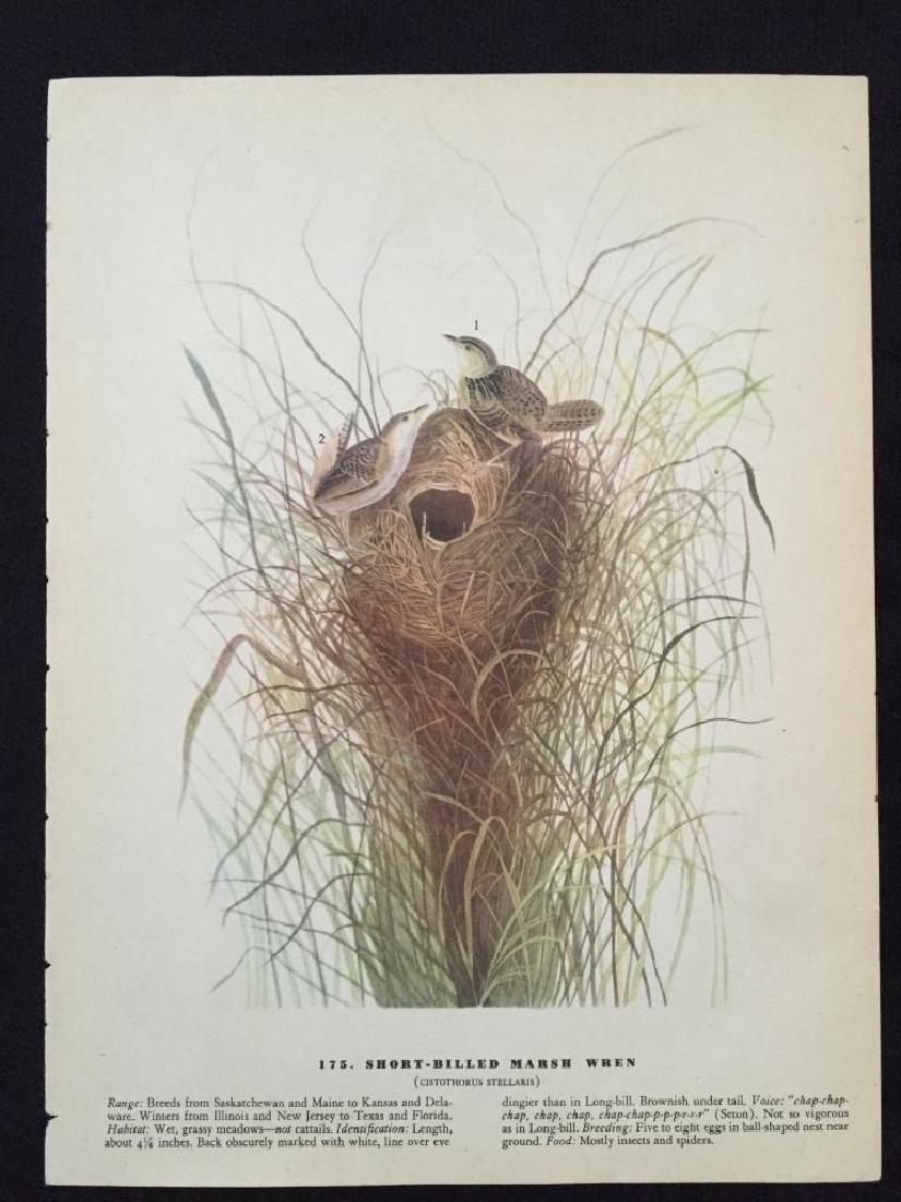 c1946 Audubon Print, #175 Short-Billed Marsh Wren - 2