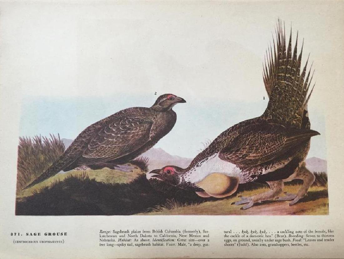 c1946 Audubon Print, #371 Sage Grouse - 2