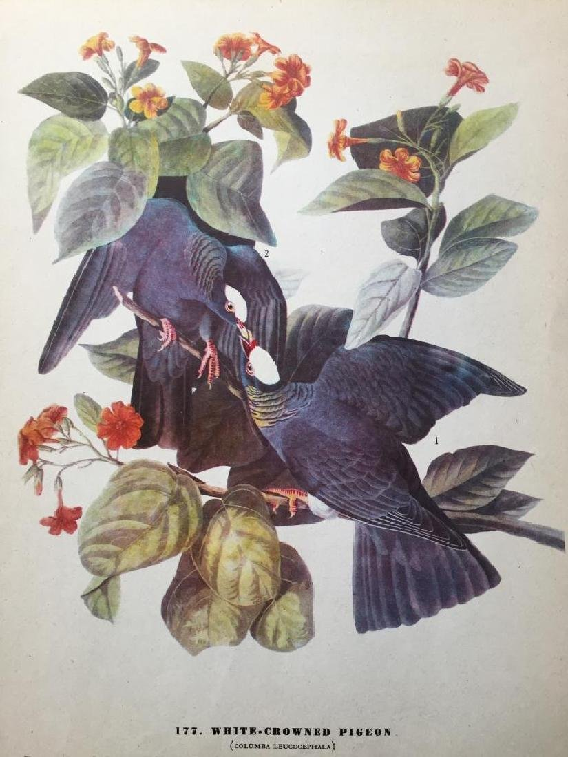 c1946 Audubon Print, White-Crowned Pigeon - 2