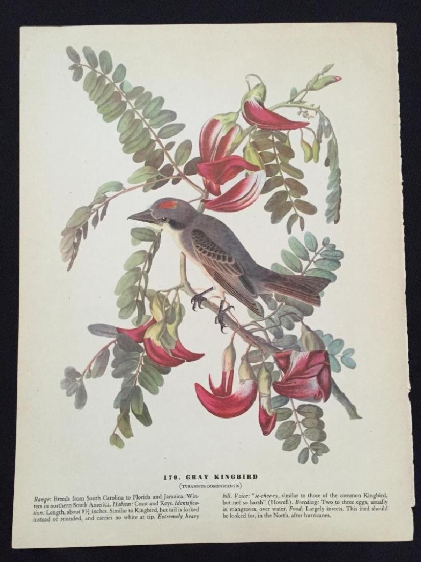 c1946 Audubon Print, #170 Gray Kingbird - 2