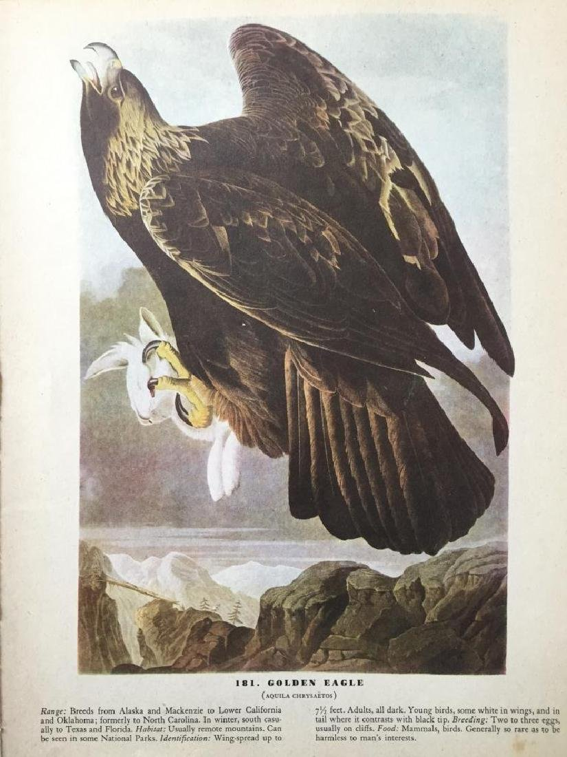 c1946 Audubon Print, #181 Golden Eagle - 2
