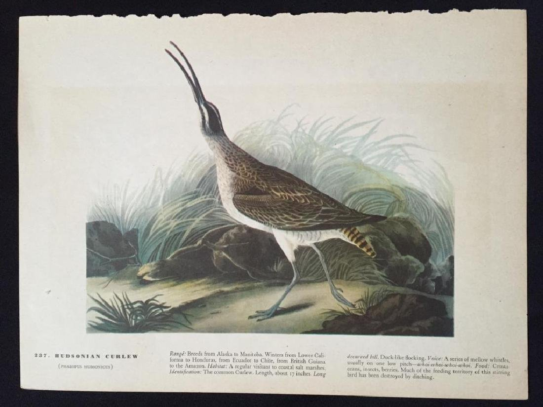 c1946 Audubon Print, #237 Hudsonian Curlew - 2