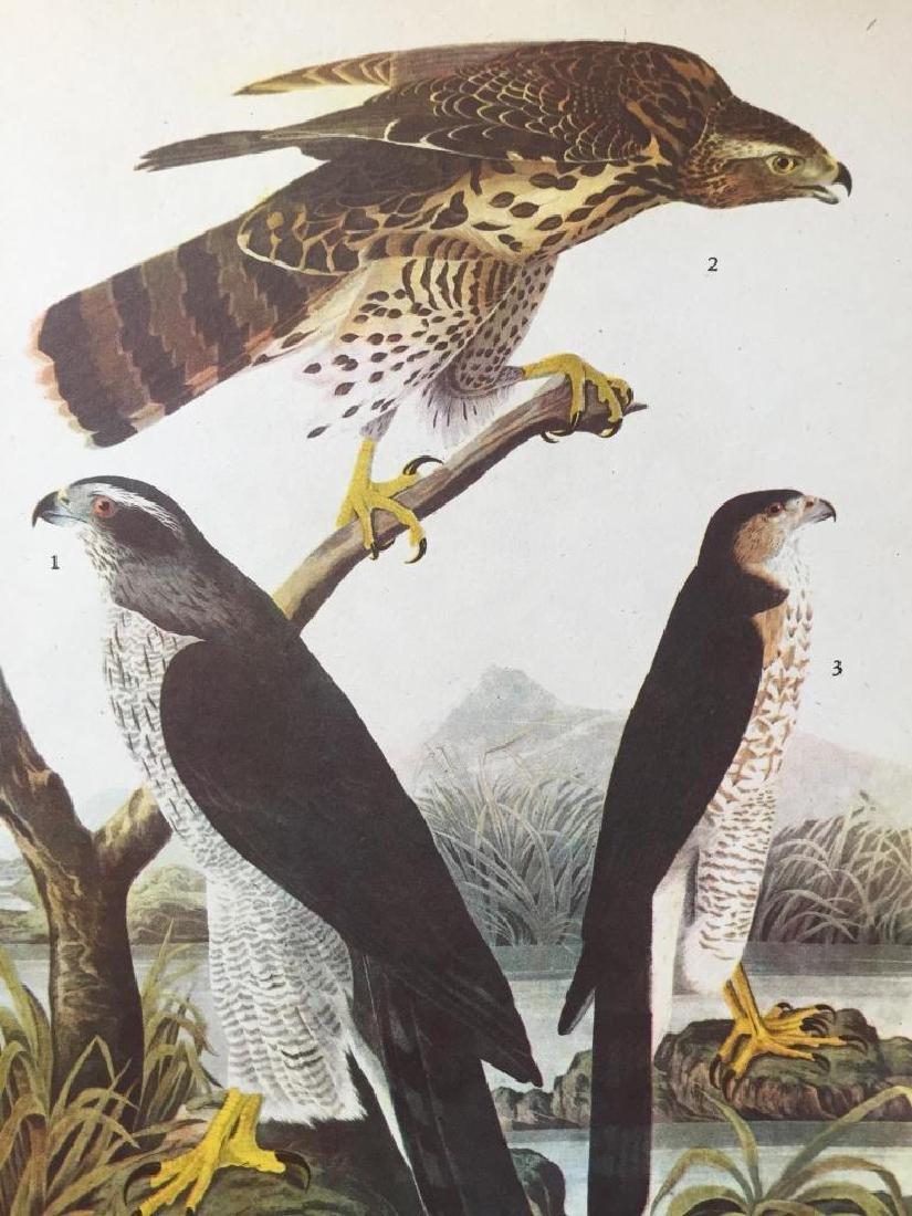 c1946 Audubon Print, #141 Goshawk