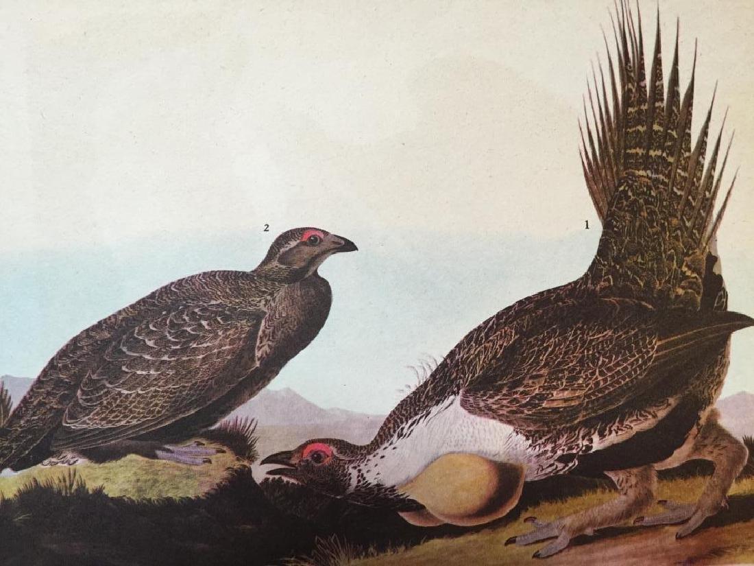 c1946 Audubon Print, #371 Sage Grouse