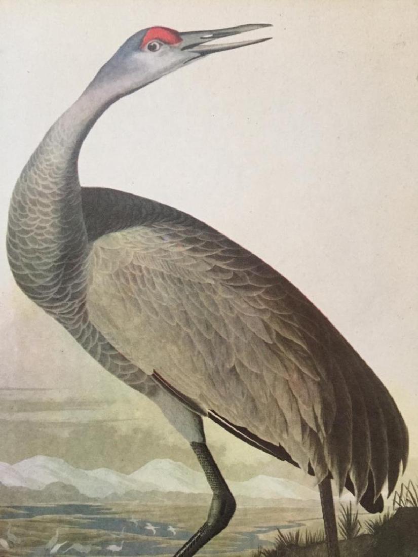 c1946 Audubon Print, #261 Sandhill Crane