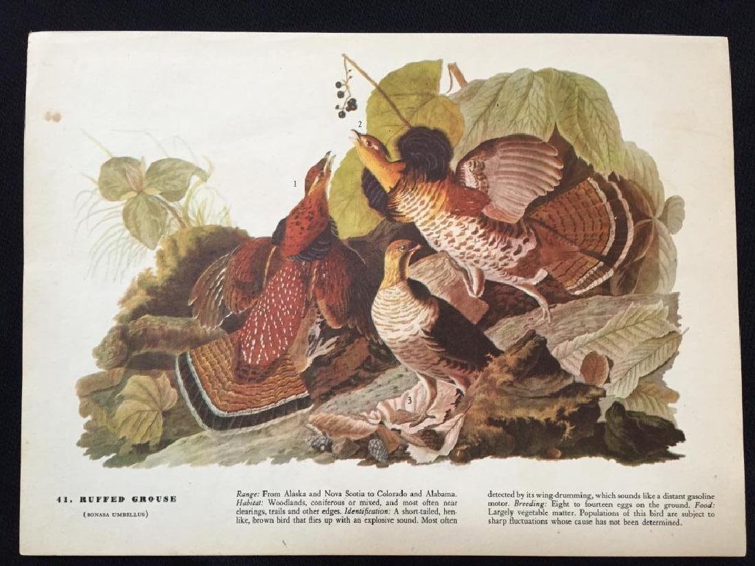 c1946 Audubon Print, #41 Ruffed Grouse - 2