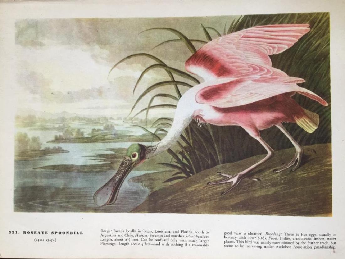 c1946 Audubon Print, #321 Roseate Spoonbill - 2