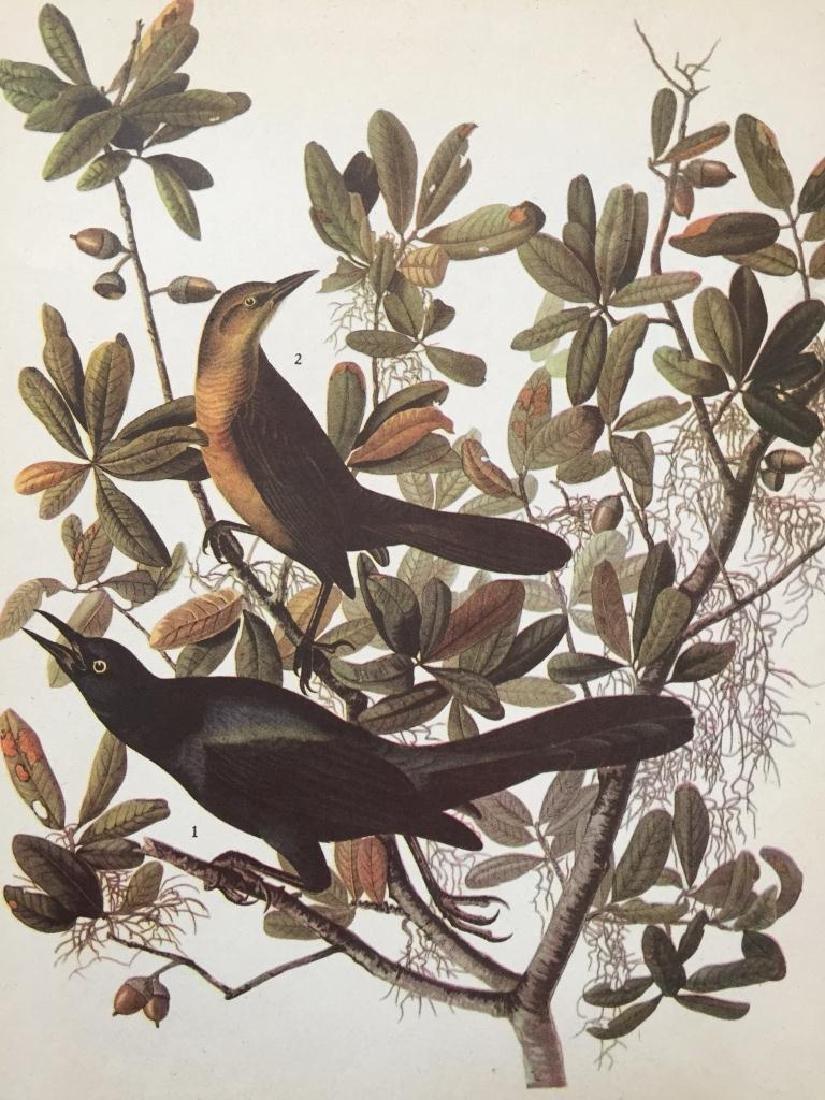 c1946 Audubon Print, #187 Boat-Tailed Grackle