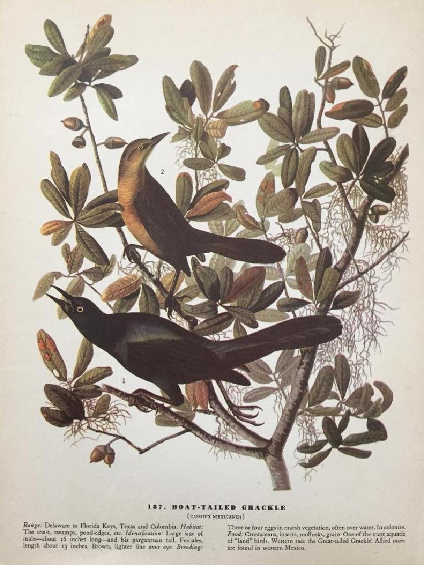 c1946 Audubon Print, #187 Boat-Tailed Grackle - 2