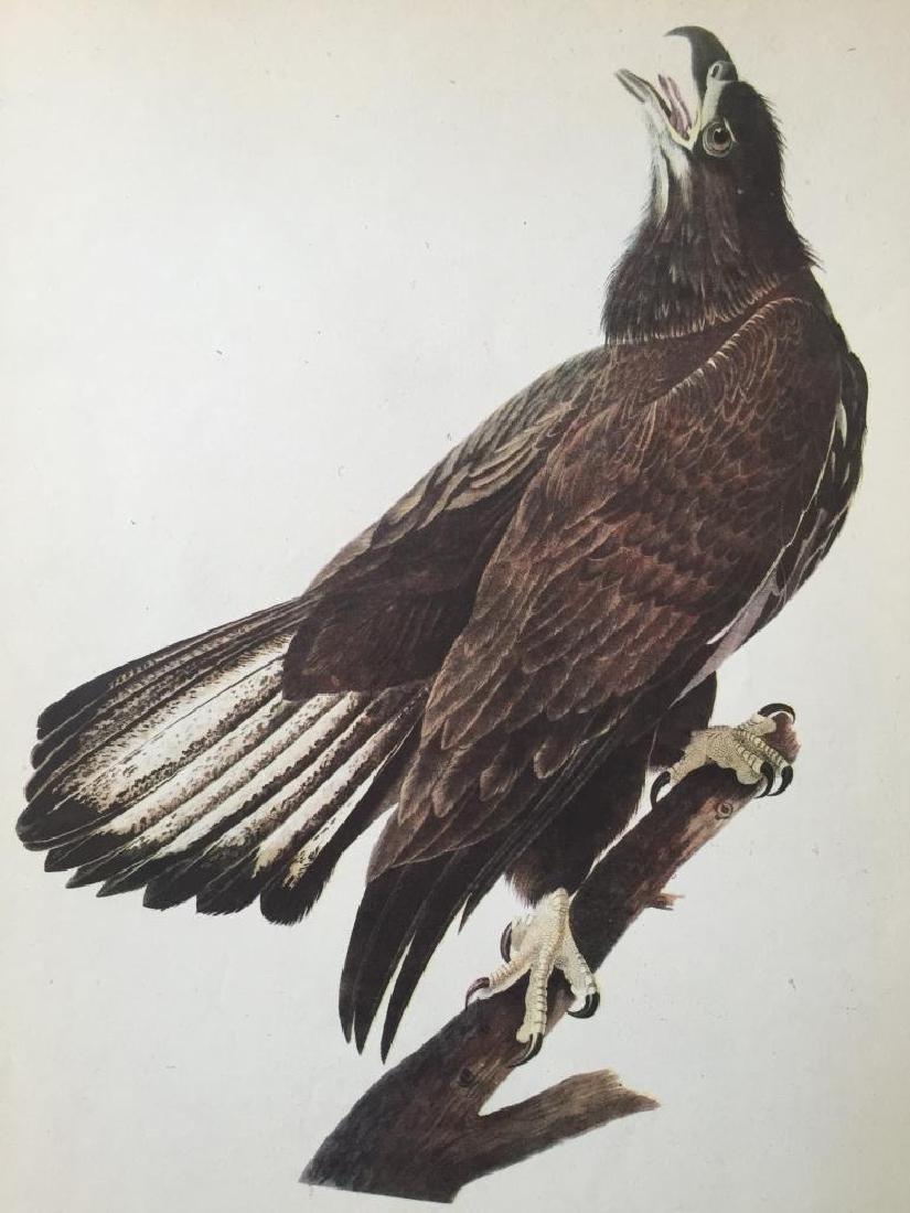 c1946 Audubon Print, #126 Bald Eagle
