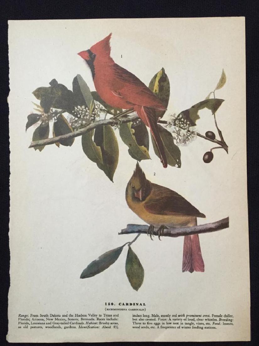 c1946 Audubon Print, #159 Cardinal - 2
