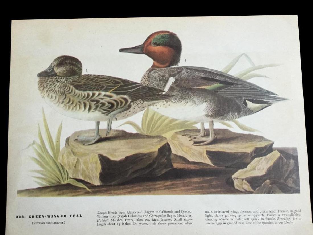 c1946 Audubon Print, #228 Green-Winged Teal