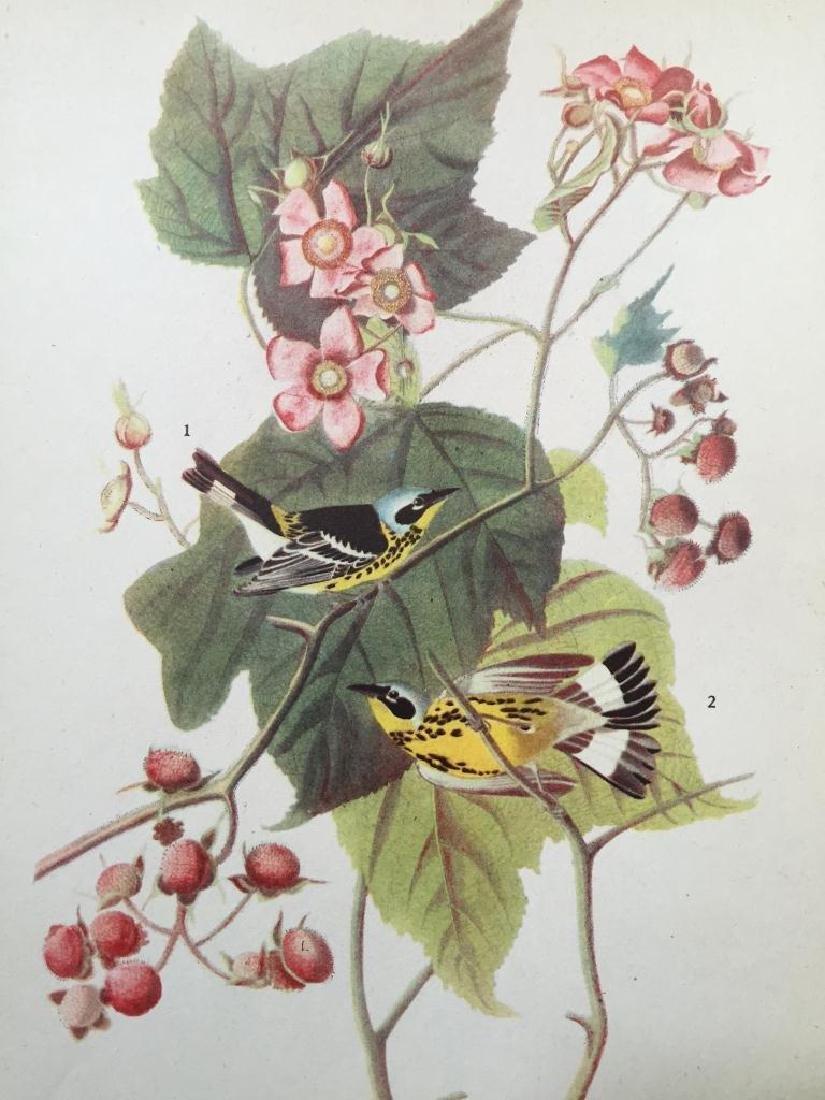 c1946 Audubon Print, #123 Magnolia Warbler
