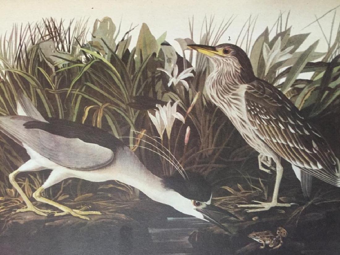 Audubon Print, #236 Black-Crowned Night Heron