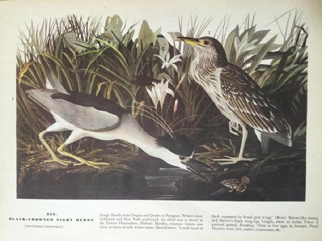 Audubon Print, #236 Black-Crowned Night Heron - 2