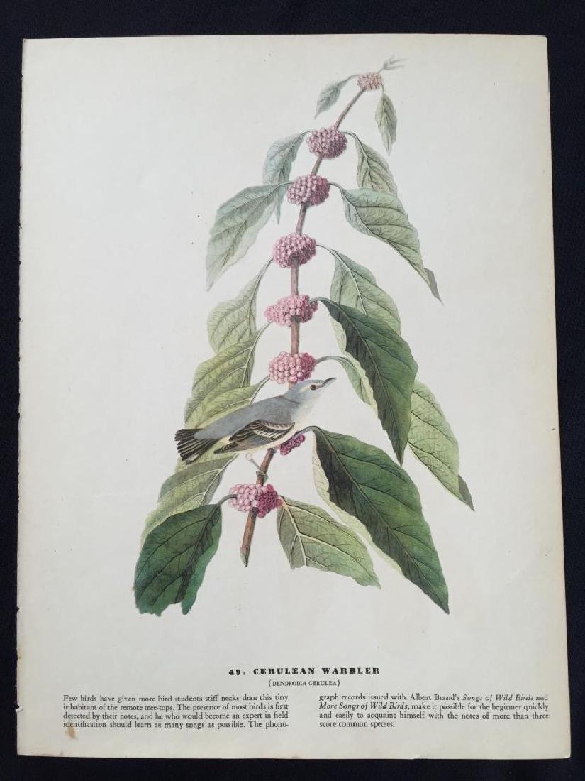 c1946 Audubon Print, #49 Cerulean Warbler - 2