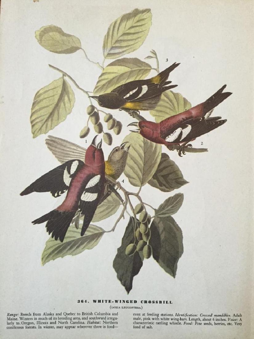 c1946 Audubon Print, # 364 White-Winged Crossbill - 2