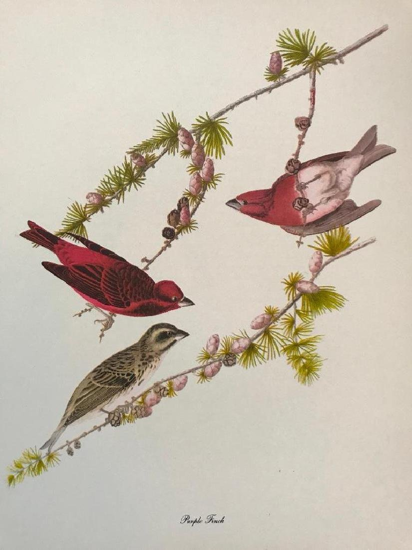 c1950 Audubon Print, Purple Finch