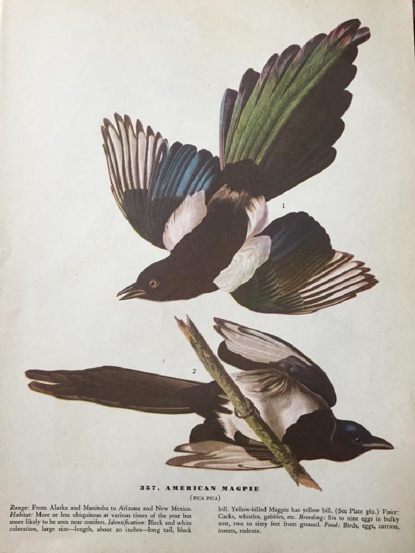 c1946 Audubon Print, #357 American Magpie