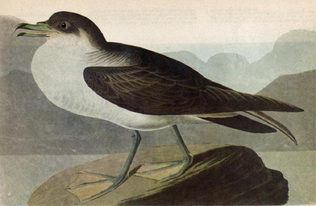 c1946 Audubon Print, Greater Shearwater #283