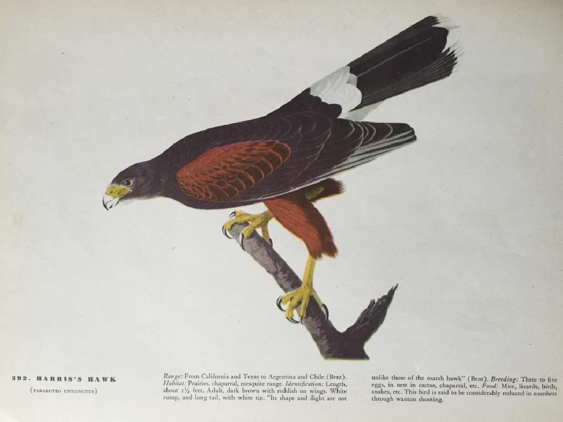 c1946 Audubon Print, # 392 Harris's Hawk - 2