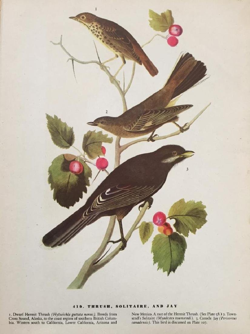 c1946 Audubon Print, #419 Thrush, Solitaire & Jay - 2