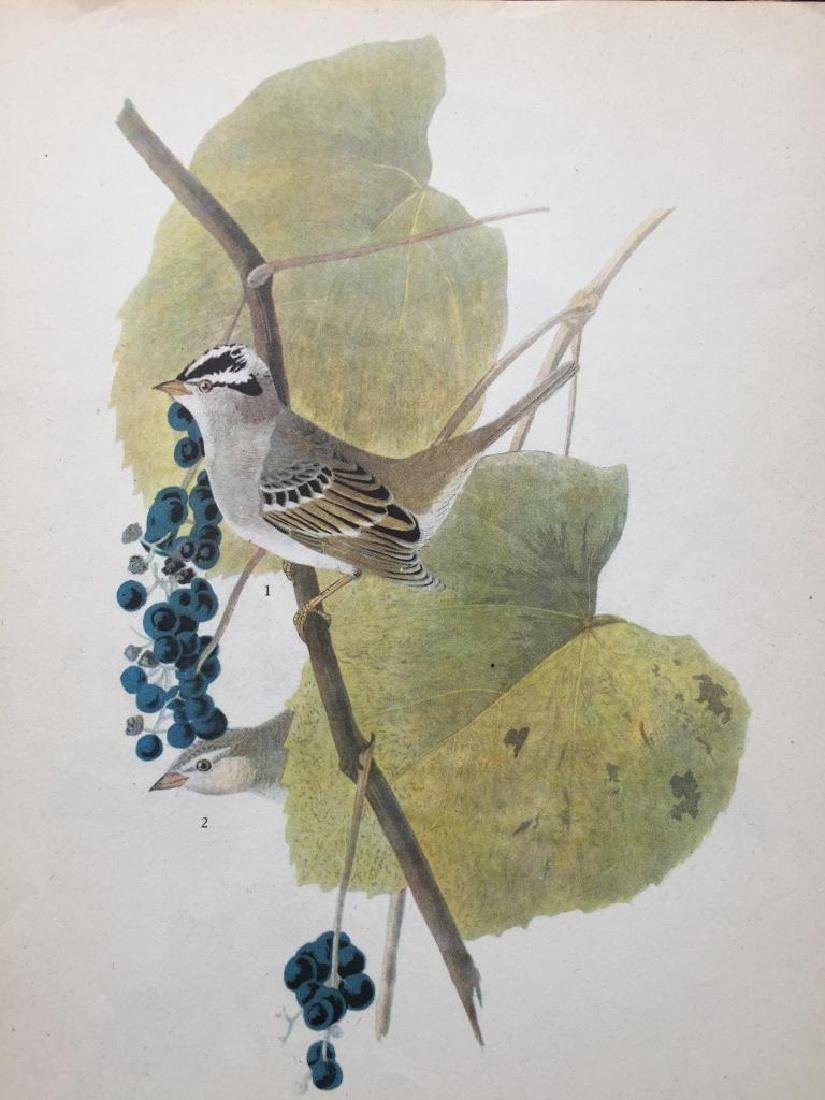 c1946 Audubon Print, White-Crowned Sparrow