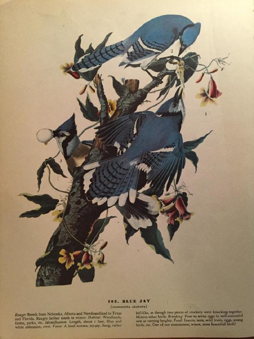 c1946 Audubon Print, #102 Blue Jay
