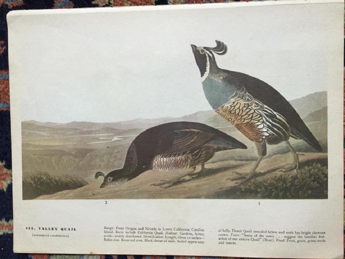 c1946 Audubon Print, #413 Valley Quail
