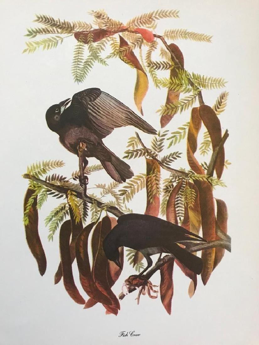 c1950 Audubon Print, Fish Crow