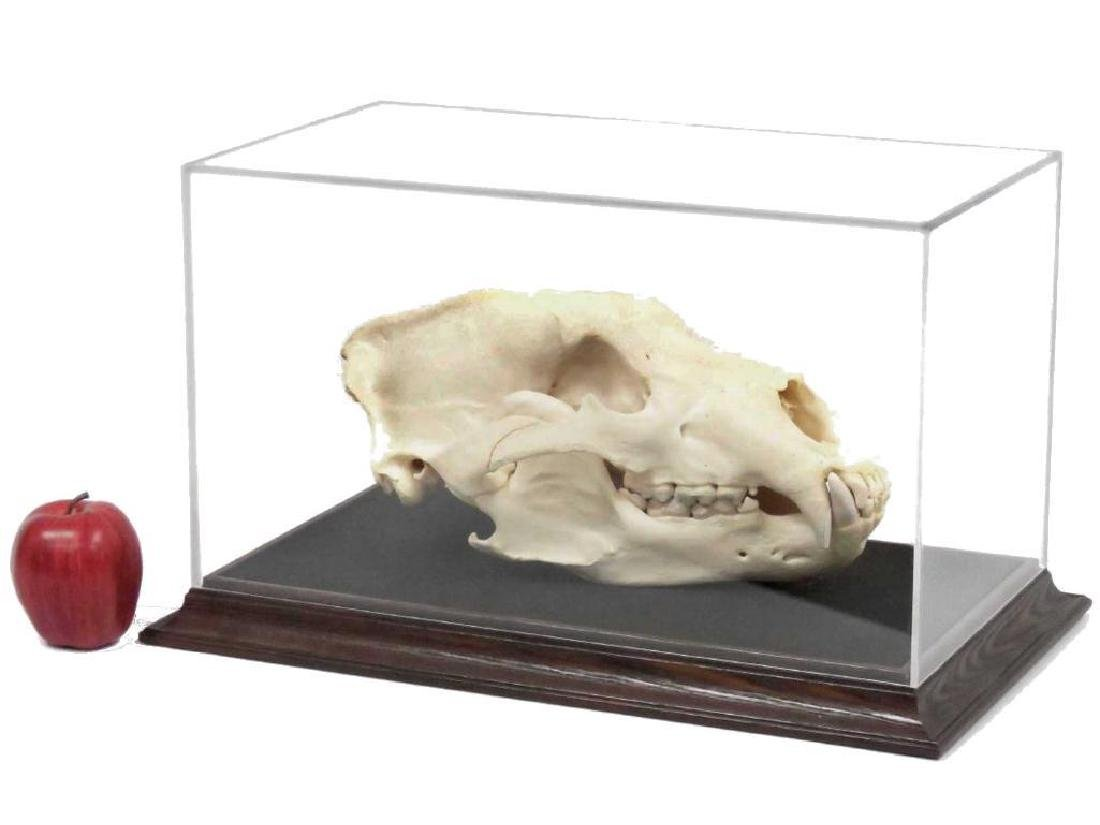 """Large Bear Skull. Length 14"""" (with Display Case)"""