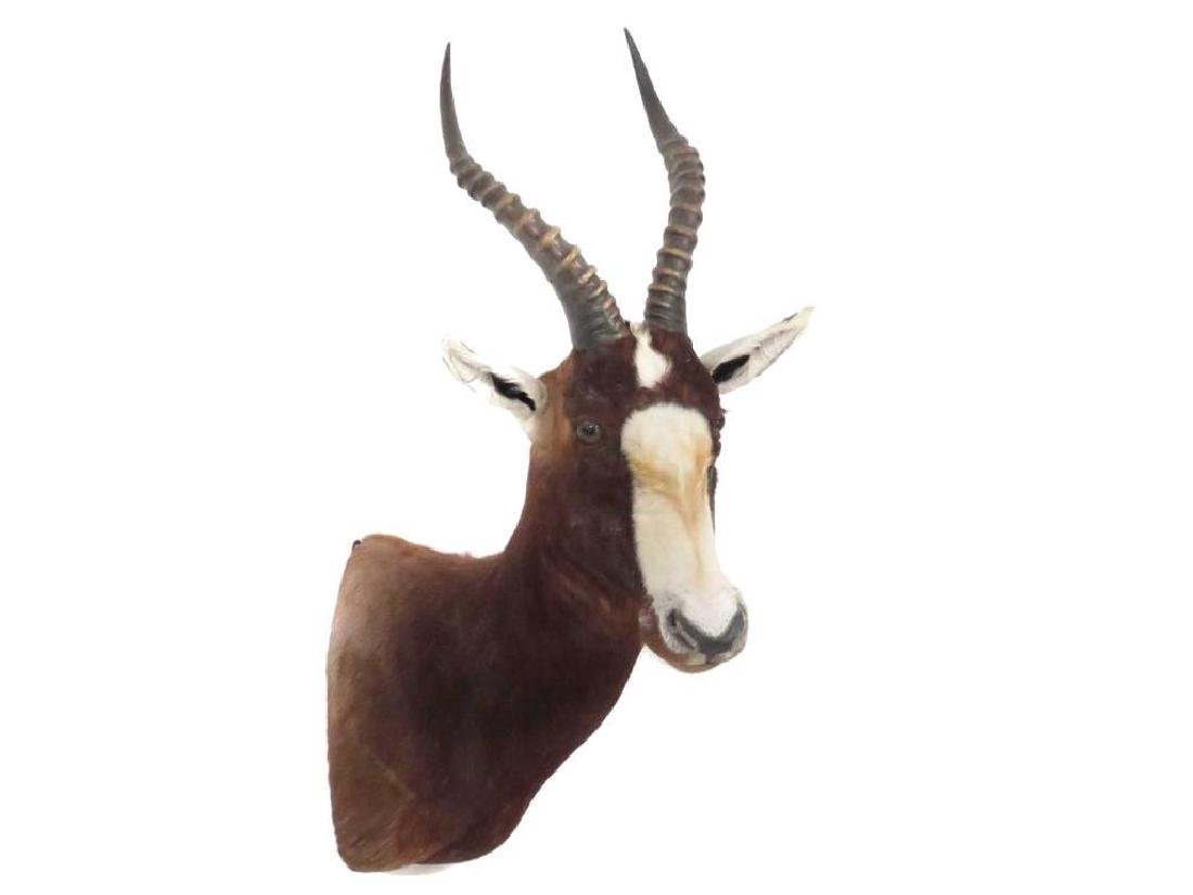 Blesbok Shoulder Trophy Mount. Height 34""