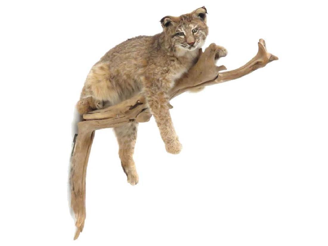 Lynx Full Body Trophy Wall Mount On Tree Limb. Length