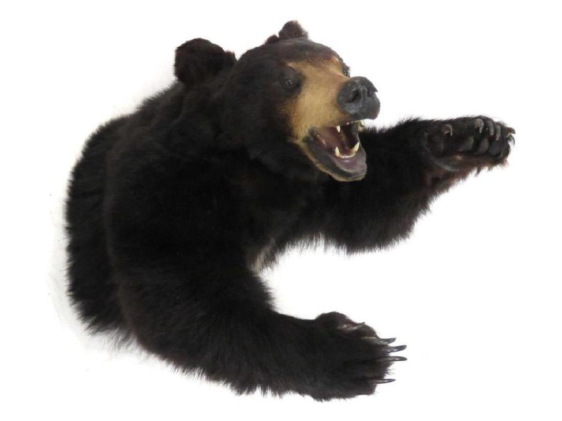Black Bear Torso Trophy Wall Mount. Length 33""