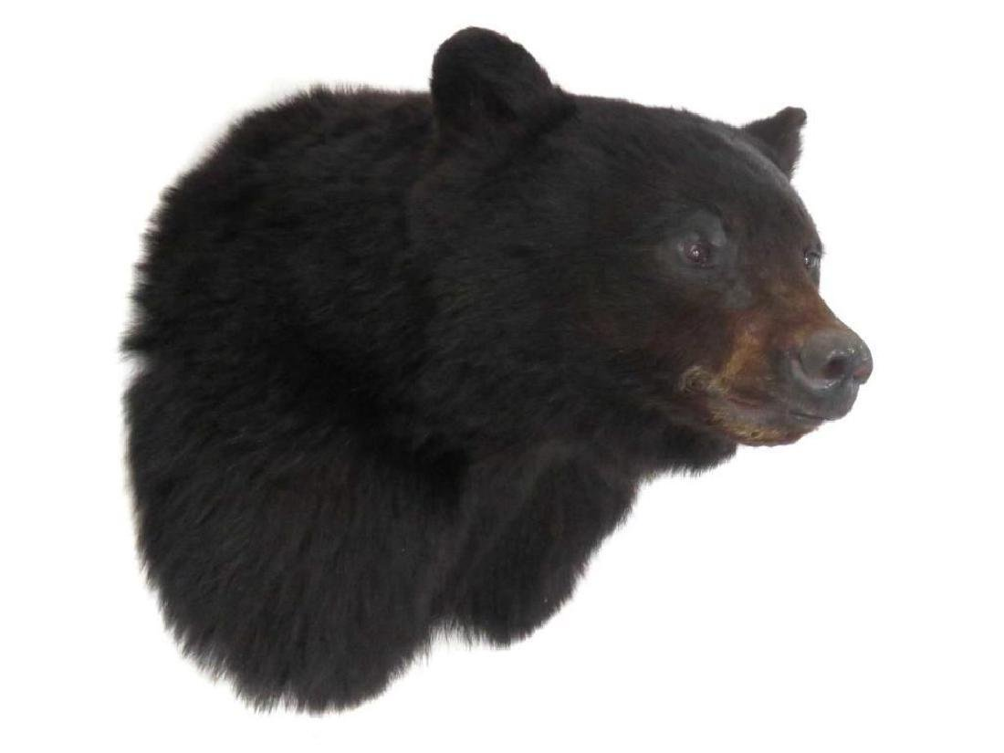 Black Bear Trophy Head Mount, Signed Parsons '02.