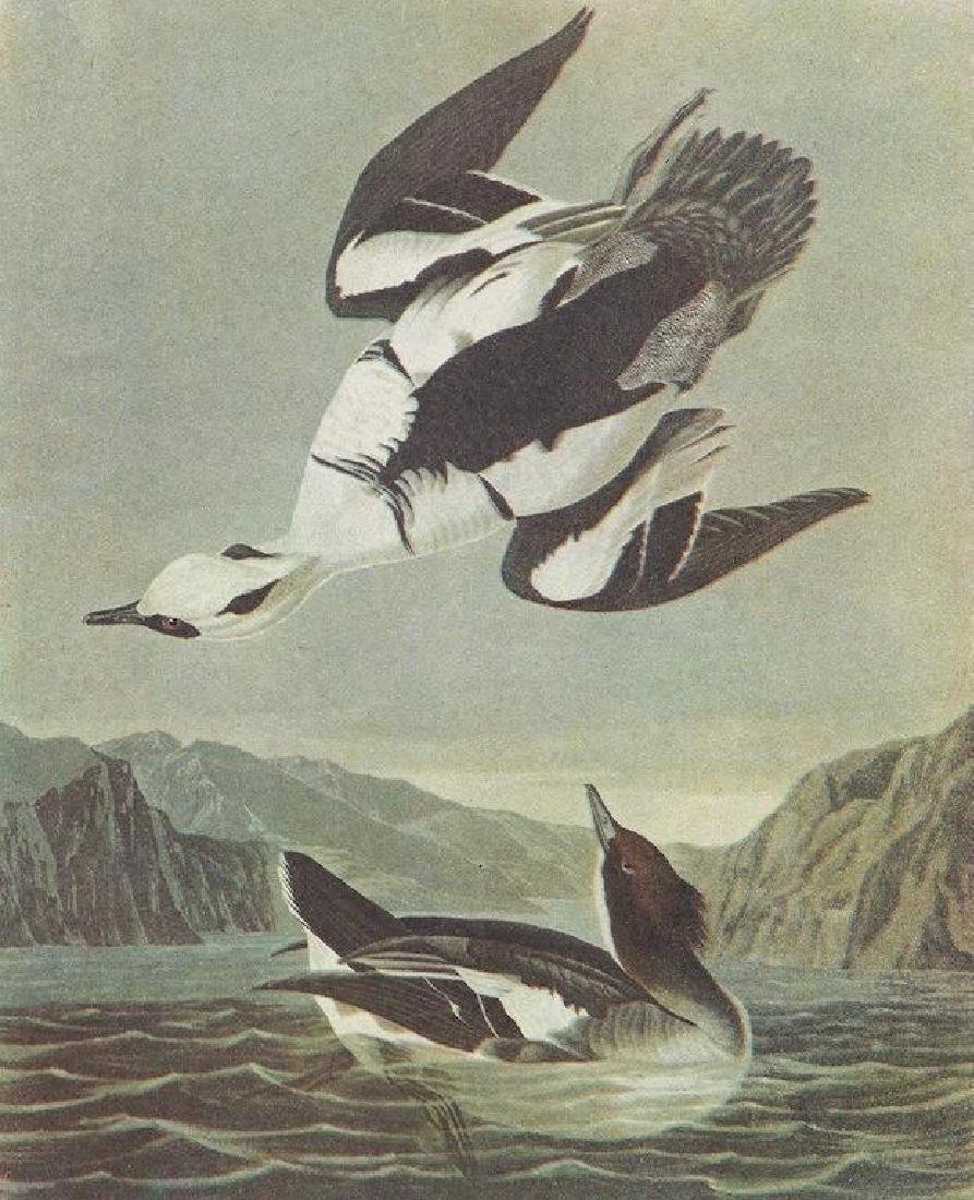 c1946 Audubon Print, #347 Smew, Diving Duck