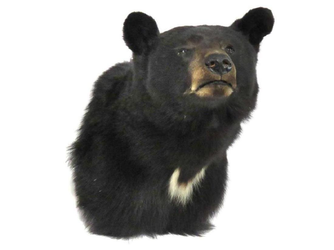 Black Bear Shoulder Trophy Mount. Height 22""