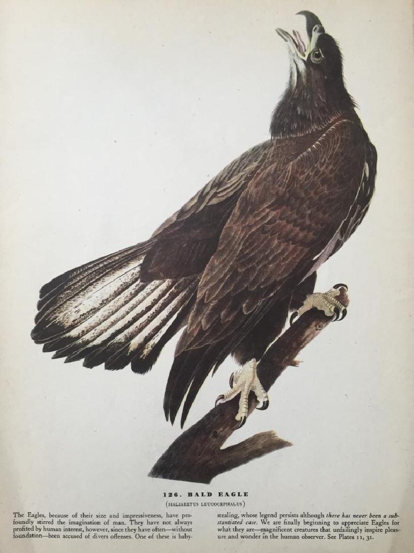 c1946 Audubon Print, #126 Bald Eagle - 2