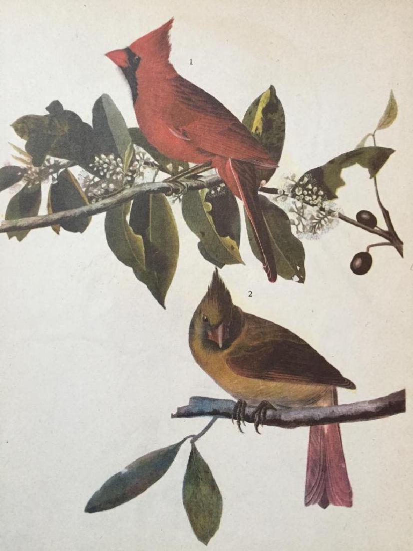 c1946 Audubon Print, #159 Cardinal