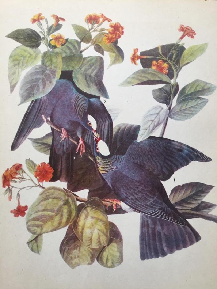 c1946 Audubon Print, White-Crowned Pigeon