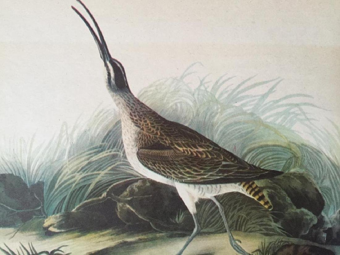 c1946 Audubon Print, #237 Hudsonian Curlew