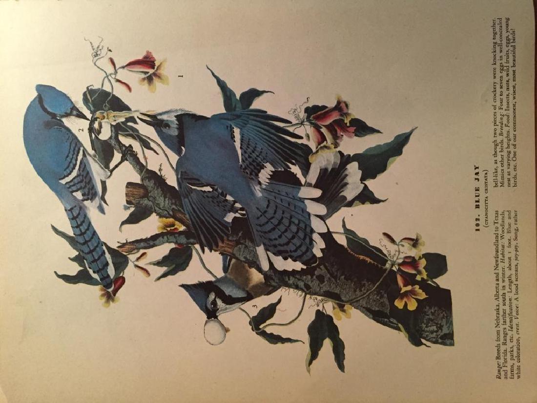 c1946 Audubon Print, #102 Blue Jay - 2