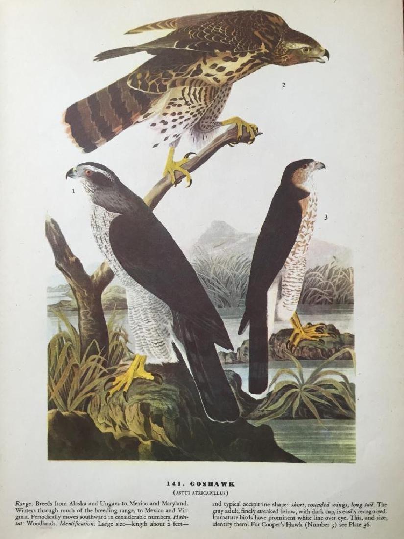 c1946 Audubon Print, #141 Goshawk - 2