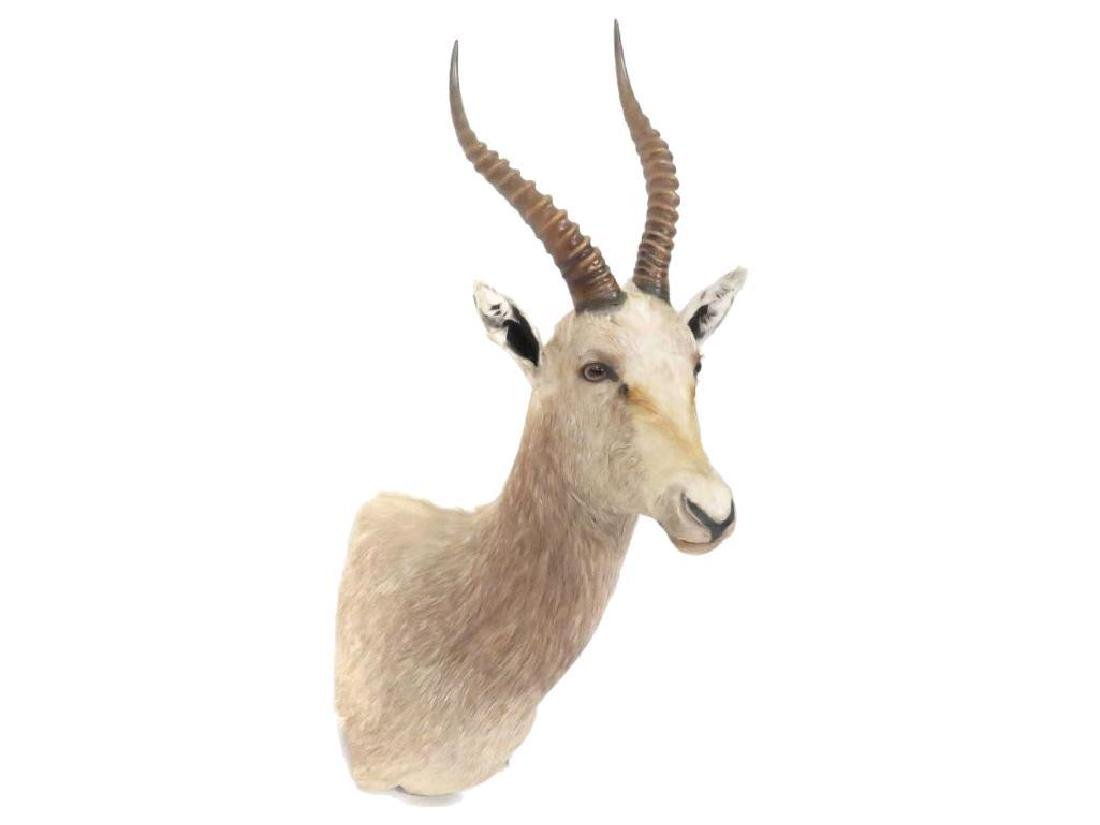 Springbok Shoulder Trophy Mount.