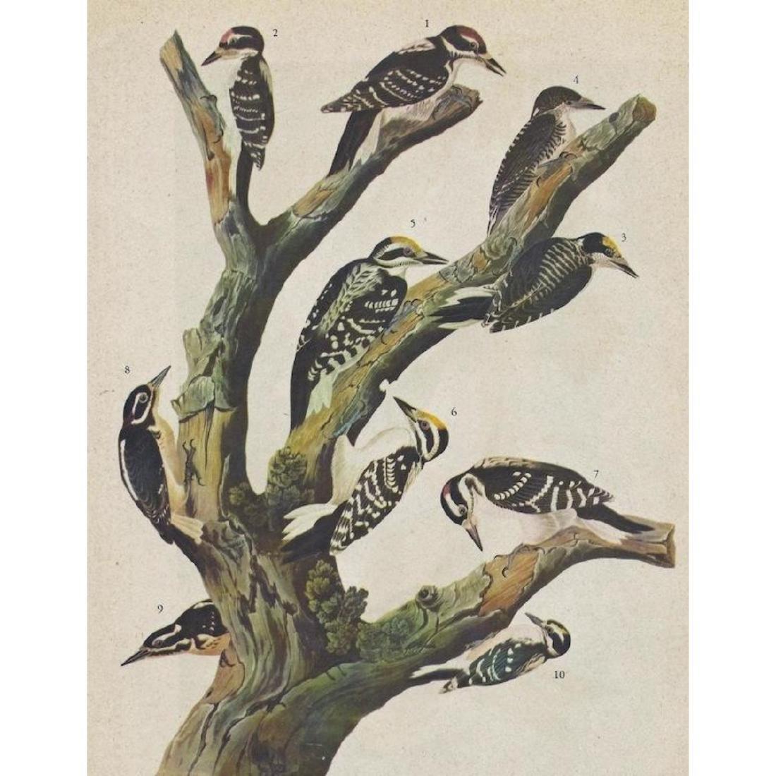 c1946 Audubon Print, Two Woodpeckers