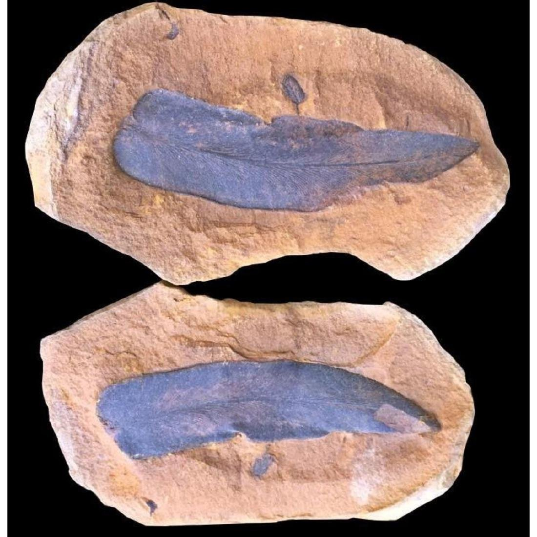 Fossil Leaves Natural Collectible Specimen - 3