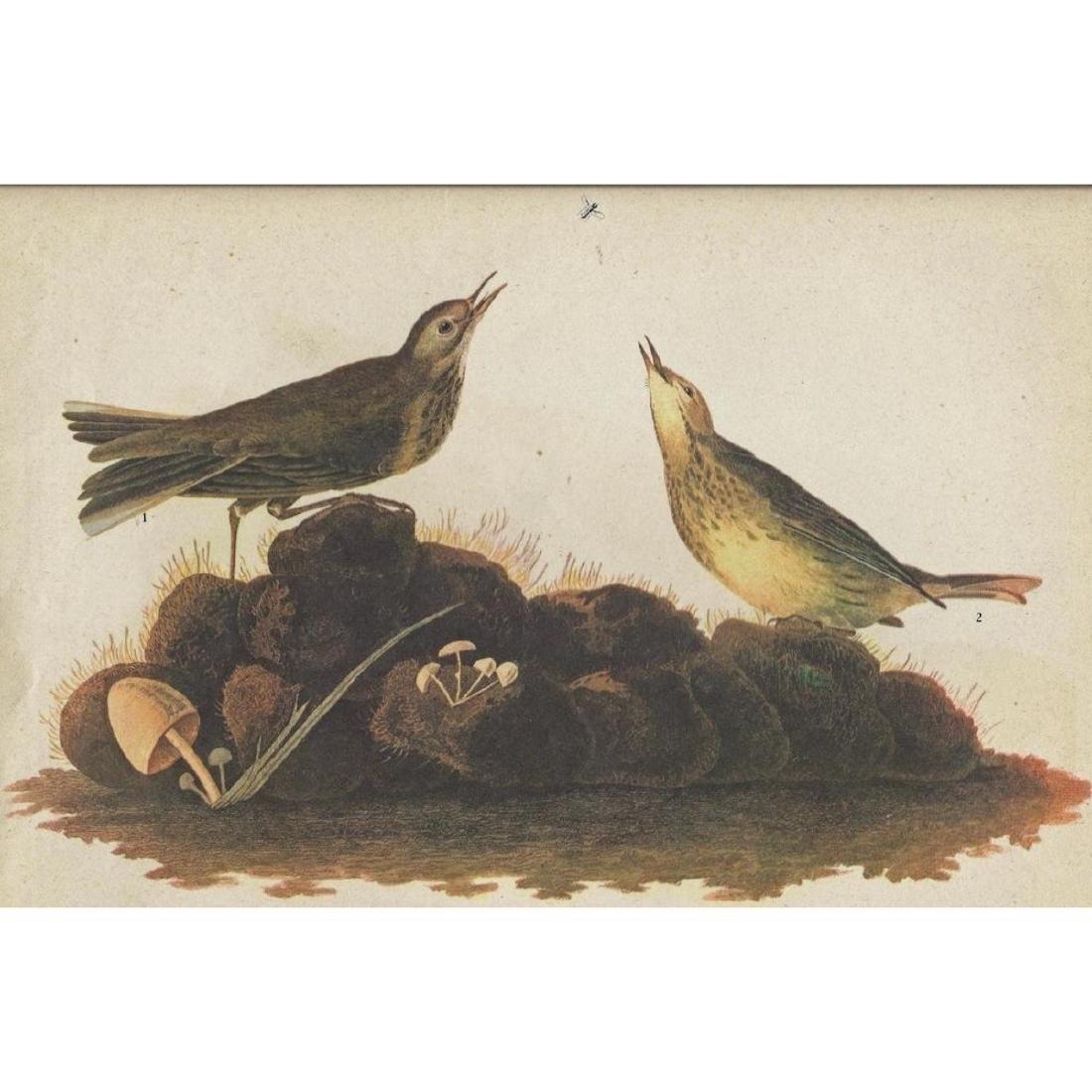 c1946 Audubon Print, #10 American Pipit