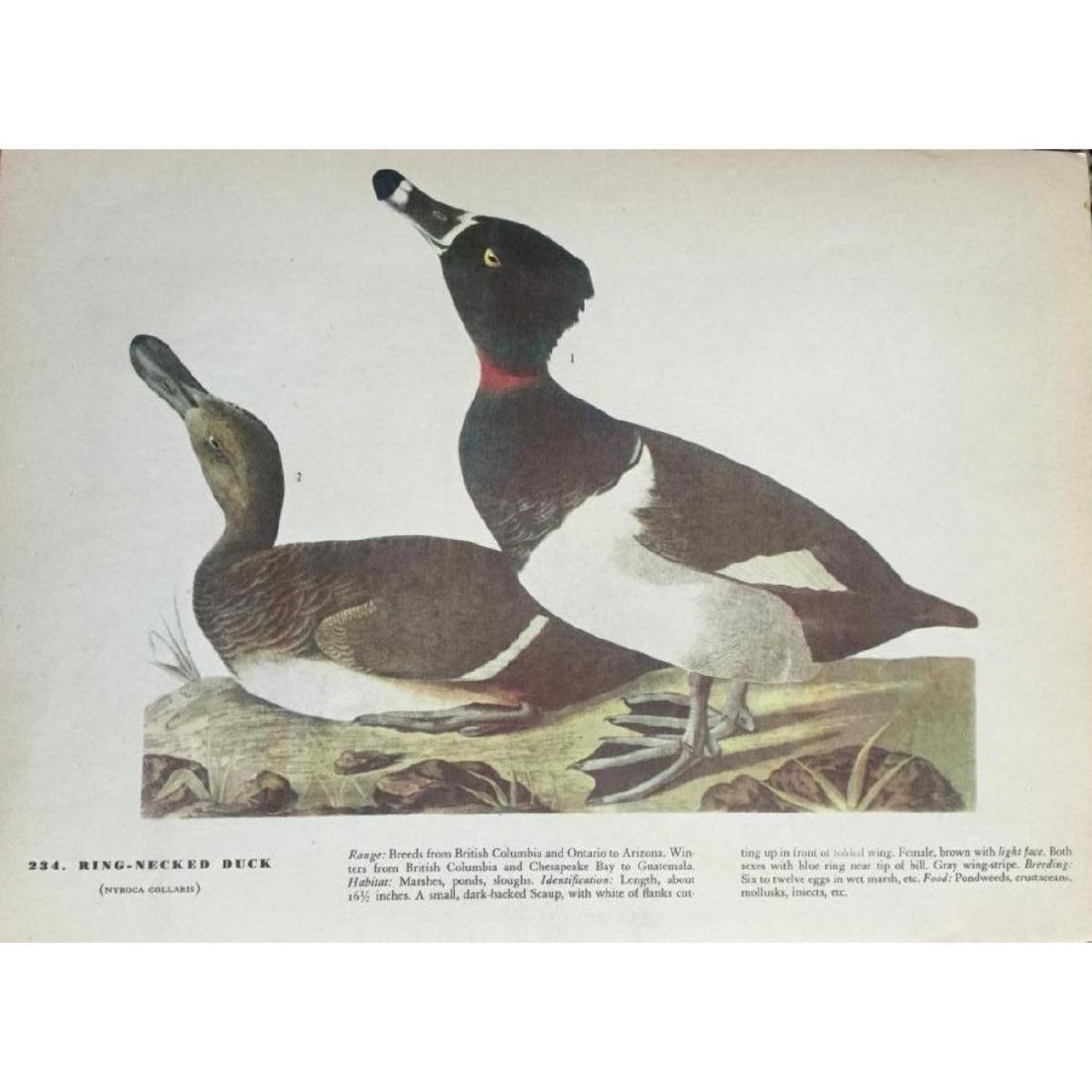 c1946 Audubon Print, #294 Ring-Necked Duck