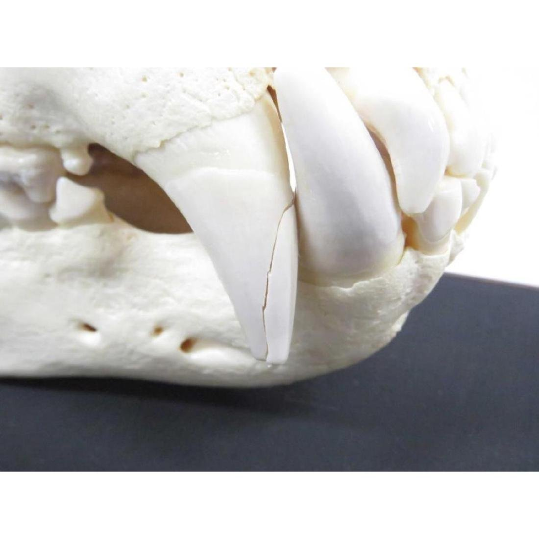 """Large Bear Skull. Length 14"""" (with Display Case) - 2"""