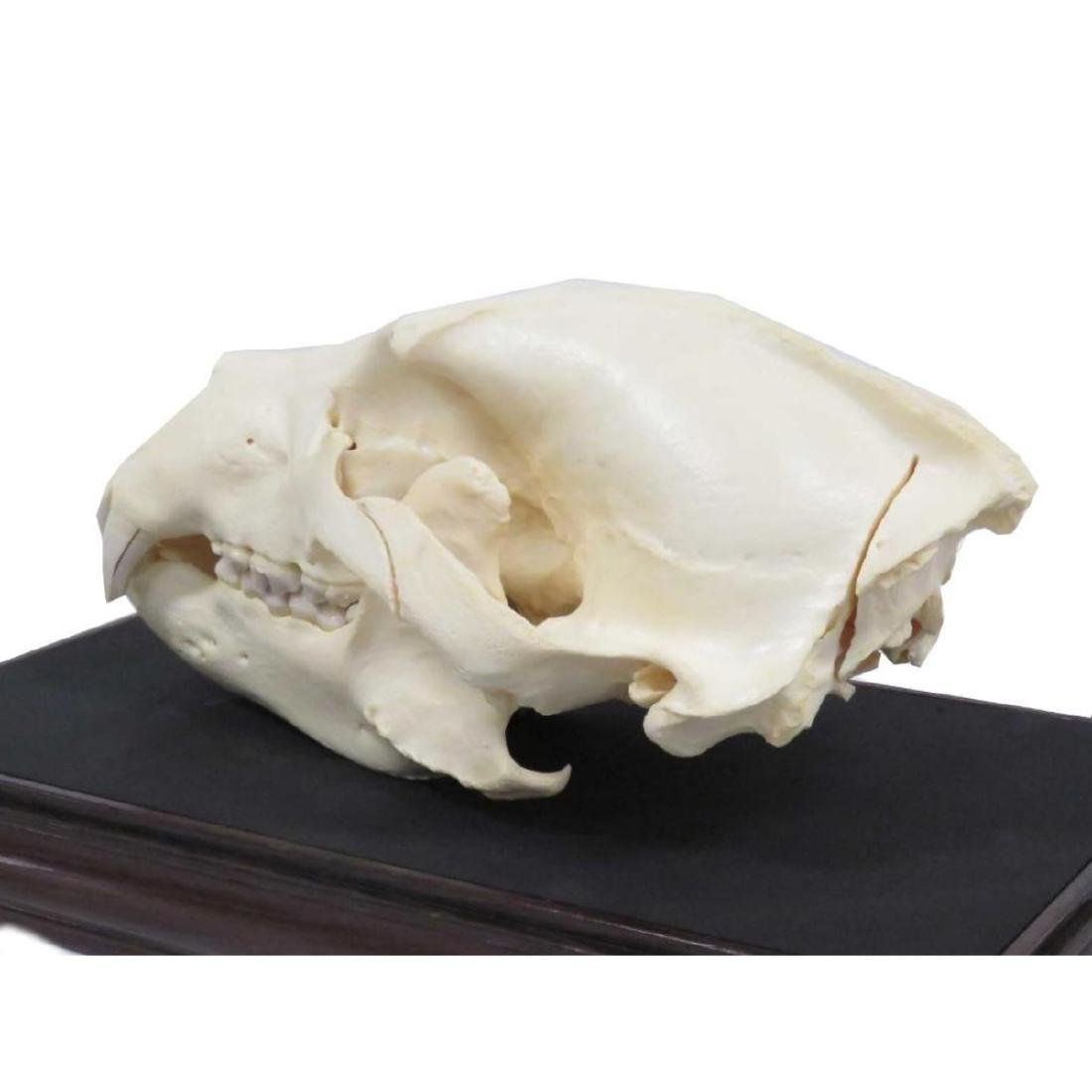 """Large Bear Skull. Length 14"""" (with Display Case) - 4"""